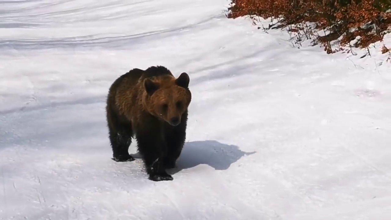 Videó: medve üldözte a síelőt a romániai sípályán